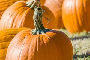 Halloween pumpkins in a field