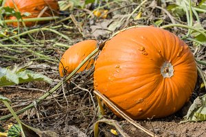 Large pumpkin in a field