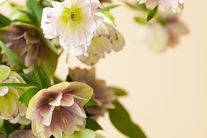 Lenten Roses aka Hellebore flowers