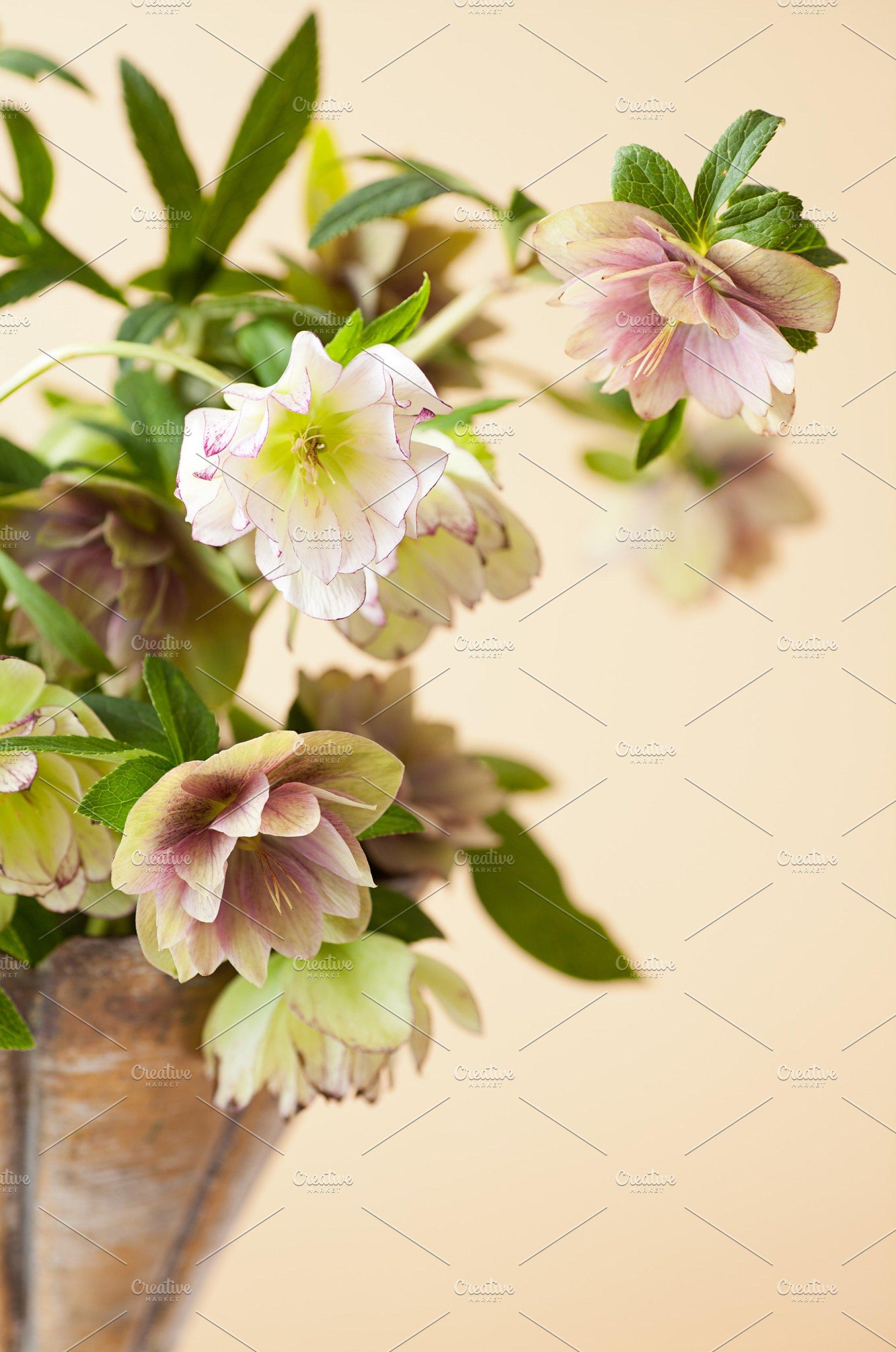 Lenten Roses Aka Hellebore Flowers High Quality Nature Stock