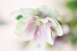 Lenten rose close up soft pastels