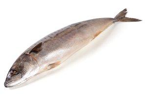One fresh mackerel isolated on white background