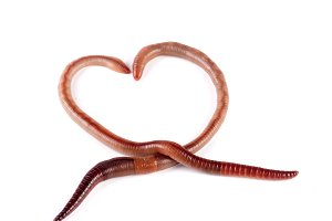 Two earthworms in the shape of heart isolated on white background