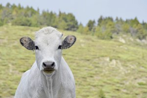 Young white cow