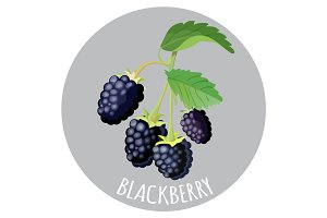 Blackberry with green leaves isolated on grey background.