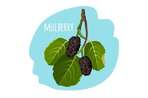 Mulberry with green leaves isolated on blue background.