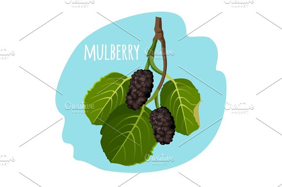Mulberry With Green Leaves Isolated On Blue Background