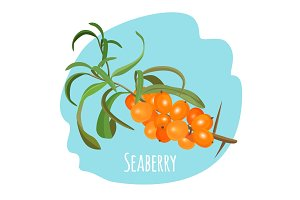 Hippophae sea buckthorn, seaberry, sandthorn, sallowthorn isolated on white background.