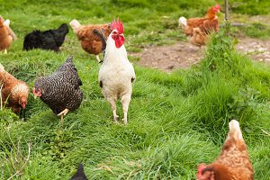 Cockerel standing in the middle of hens
