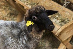 Black sheep at farm