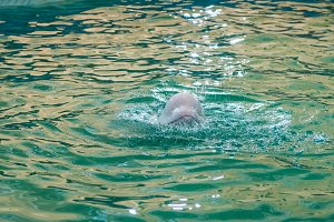 White dolphin at dolphinarium
