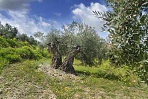 Spring in olives