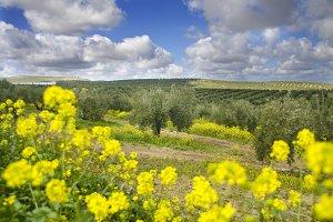 Spring olives