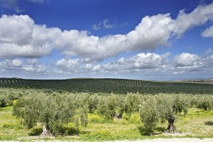 olives in spring