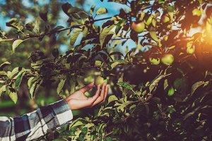 Female hand holding apple on tree