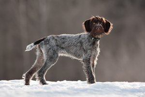 hunting dog in winter