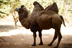 Brown bactrian camel