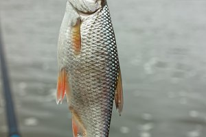 Roach fish on hook