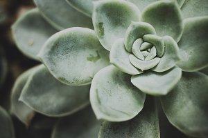 Rock Rose Succulent
