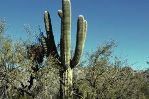 Old Aged Saguaro