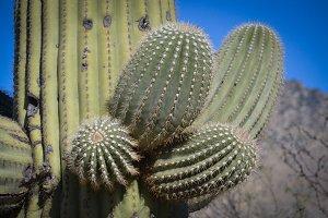 Closeup of Saguaro Branch
