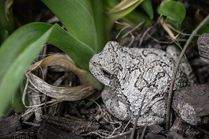 Tiny Gray Tree Frog