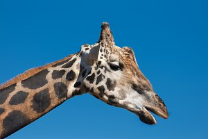 Close up view of a Giraffe