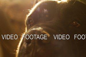 Close up Portrait a Dog Cane Corso with beautiful sun flare