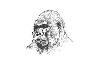 Gorilla portrait .Hand drawn style