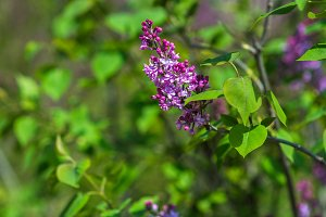 Blooming lilac bush in a garden