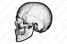 Skull in Profile Drawing