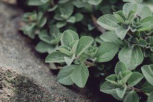 Coleus Canina Plant