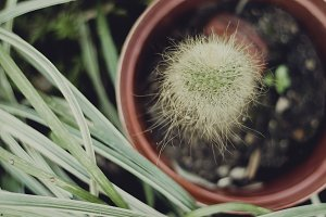 Hairy Cactus