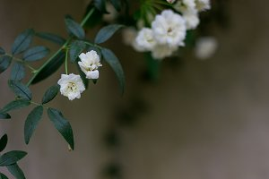 Delicate white blooms