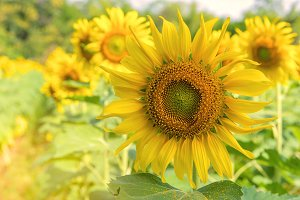 Field of Sunflower blooming