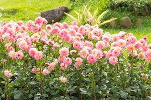dahlia pink flower in garden