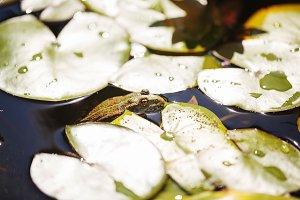 Frog among lilies