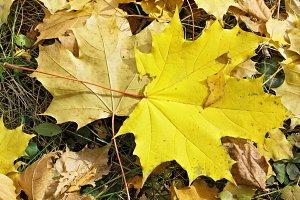 Fallen autumn maple leaves