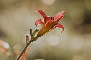 Red Lily with Raindrops