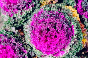 Purple Cabbage or Red Cabbage growing in the farm