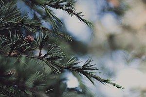 Fir Tree Needles