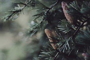 Fir Tree Close-up