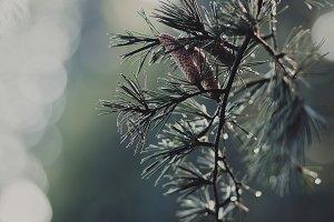 Fir Tree with Rain Drops