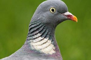 Common Wood Pigeon (Columba palumbus