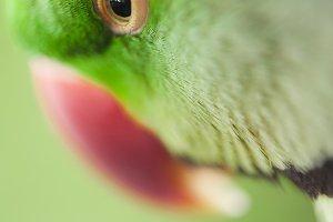 Portrait of Ringnecked Parakeet