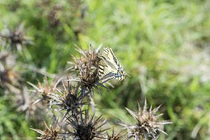 Machaon butterfly perched