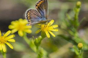 Butterfly polyommatus bellargus