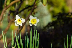 White and yellow narcissus flowers