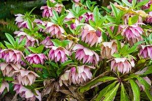 Pink Hellebore flower in bloom