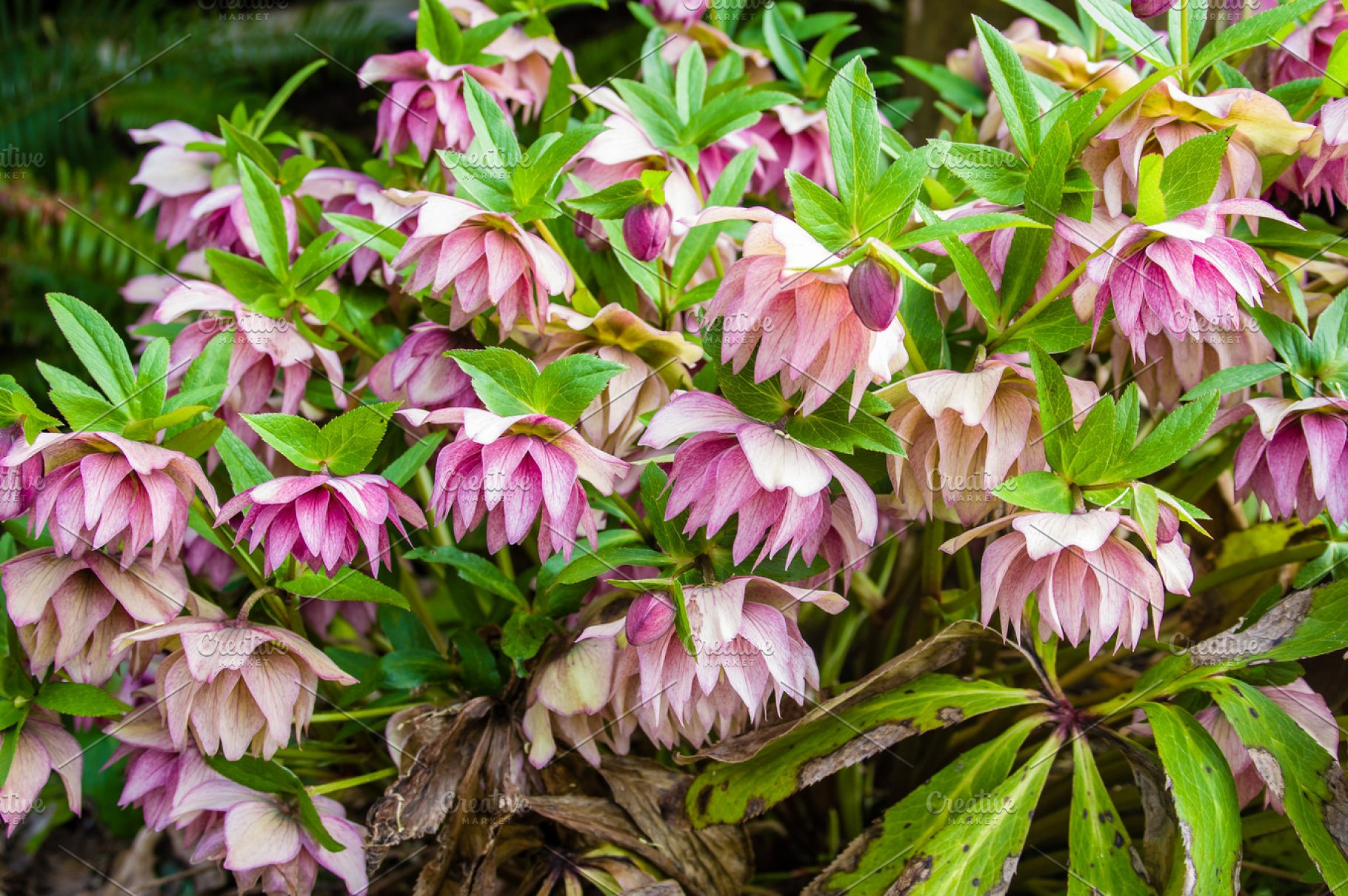 Pink Hellebore Flower In Bloom High Quality Nature Stock Photos